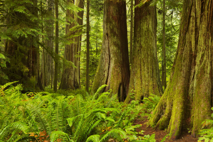 Lush rainforest in Cathedral Grove Vancouver Island Canada