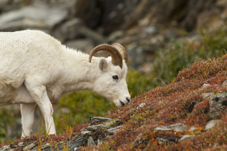 Dall sheep ram grazing in the tundra of Denali National Park