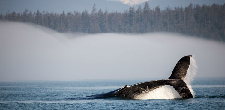 humpback whale diving in alaska at glaicer bay national park