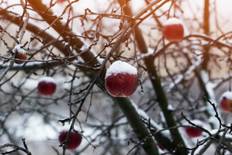 Red apples on an apple-tree covered with snow