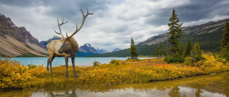 Deer at water side Rocky Mountains
