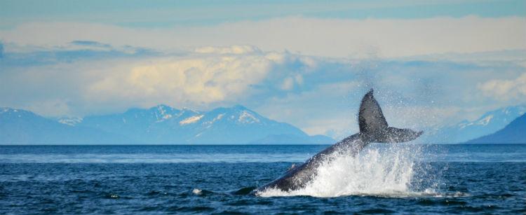 Humpback Whale in Canada