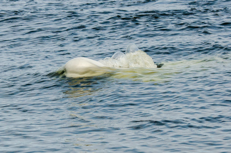 Beluga whale in the water