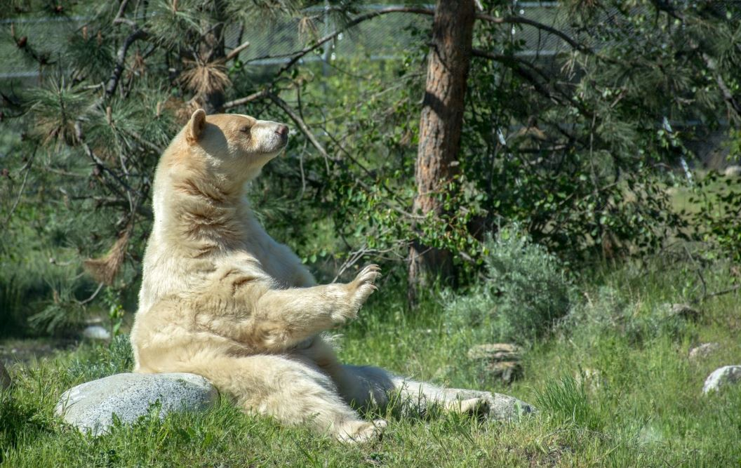 A Spirit Bear with golden fur sitting on a rock surrounded by green grass and trees.